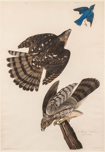 Aubon, John James, Stanley Hawk. Plate 36 from Birds of America (Lot  1365, Estimate: $3,000-5,000)